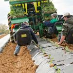 Planting Cauliflower with the Water Wheel Planter