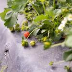 Strawberries on the Way