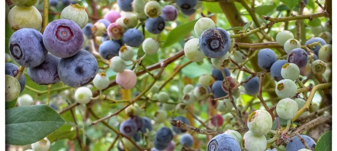 Blueberries!  U-Pick or Pre-Picked!  Patch will be open Next week!
