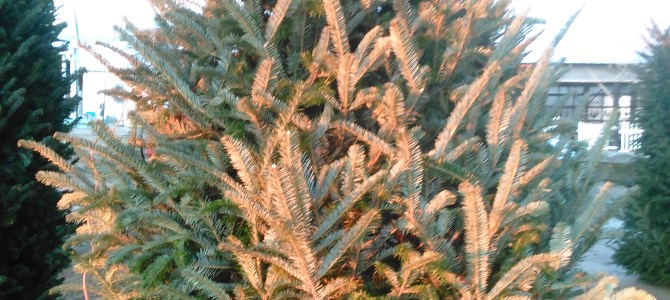 Yes, we still have some Fraser Firs left!  5ft-9ft.