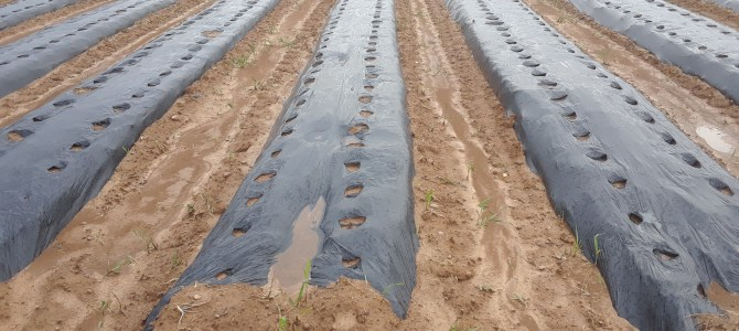 Sweet corn in the ground