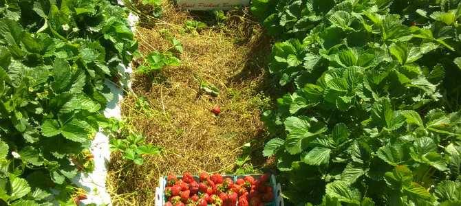 Strawberries, 18 quarts off of 30 plants…that's almost 1lb per plant!