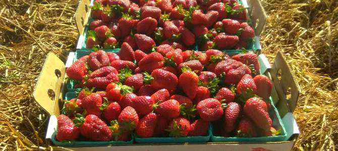Strawberries are plentiful at Miller Farms!