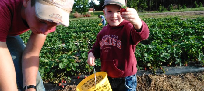 Correction to our previous post.  Plenty of Strawberries for pick your own.  Limited Strawberries for pre-picked.