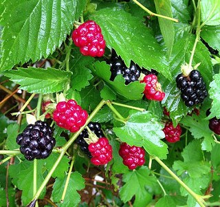 Tuesday at Miller Farms:  Blackberries, Strawberries, and more!