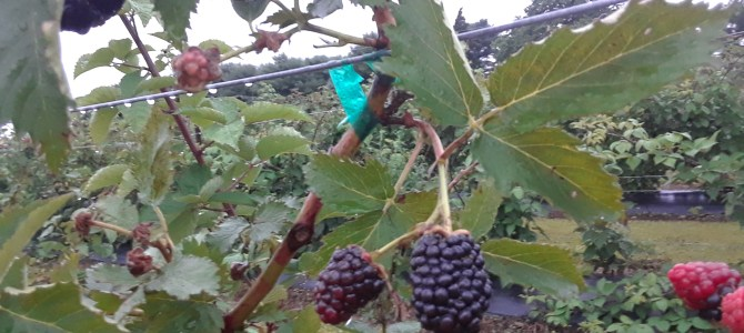 Blackberries and Blueberries….. Pick your own! Come early and beat the heat!