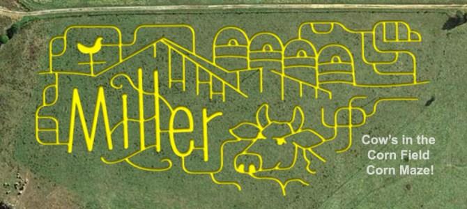 Cow's in the Cornfield Corn Maze!