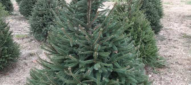Christmas Trees, Choose-N-Cut:  Norway Spruce, Canaan Fir, and White Pine
