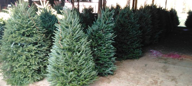 Fresh Cut Fraser Firs 5ft-12ft.  See you soon!