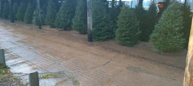 Fraser Firs, nice and dry in the barn 5ft-8ft