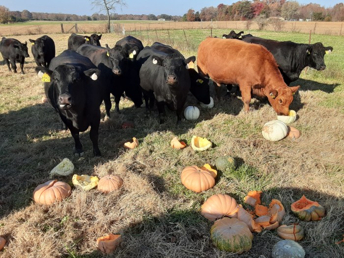 Miller Farms Beef Cows enjoying pumpkins on their pasture