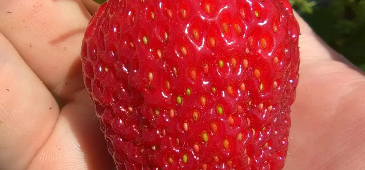 Strawberry Update for Saturday May 23