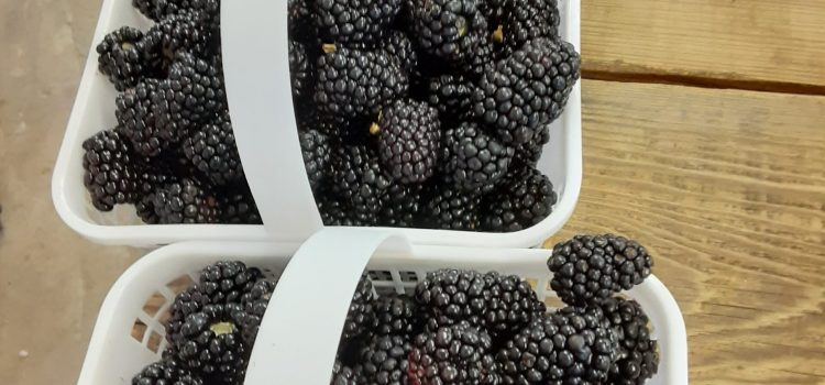 Friday at Miller Farms!  Sweet Corn, Tomatoes, Pick your own Blackberries and Blueberries!