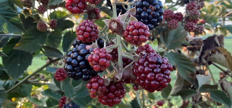 BLACKBERRIES, pick your own. Sun ripened, sweet off the vine blackberries! Now is the best time to pick! The patch is loaded!