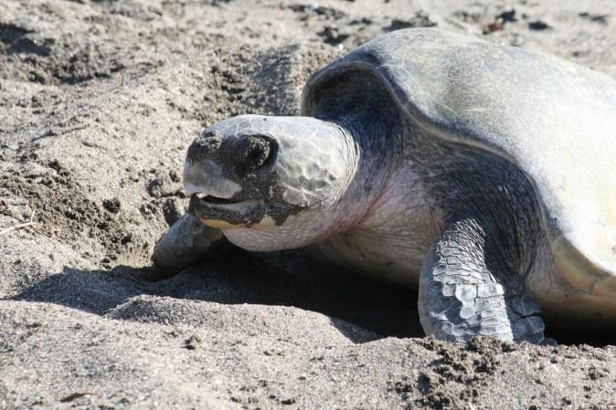 Schildkröte in Las Penitas