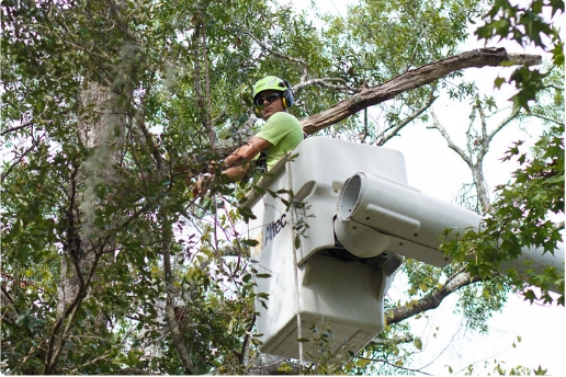 tree worker trimming a tree