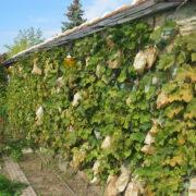 Mur palisse de Vigne les grappes sont mise en sachet de protection