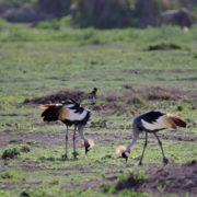 Parc Amboseli, grues huppées
