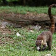 Coati à nez blanc (Nasua narica)