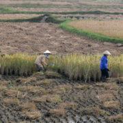Paysages de rizières sur la route du retour vers Hanoi
