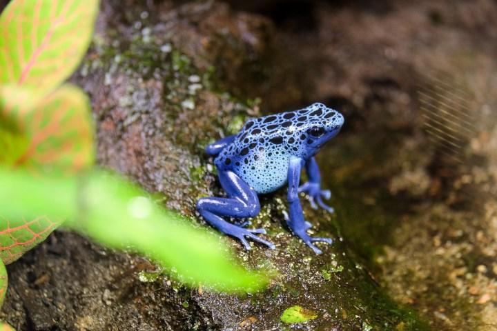 Dendrobate bleu