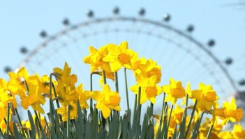 Daffodils blooming in London