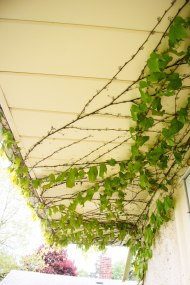 Vines which cover the side of the house, which is, I've been informed, bad.