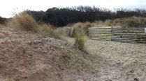 130 Marram Grass and Shrubs on the Dunes