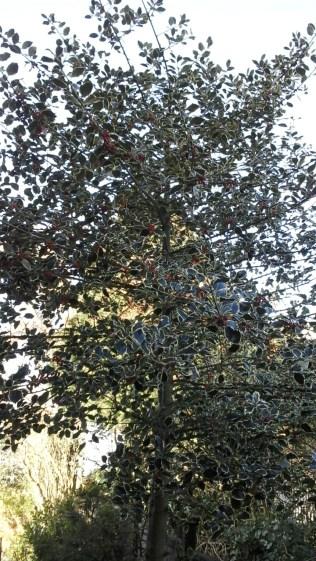 Variegated holly tree in garden