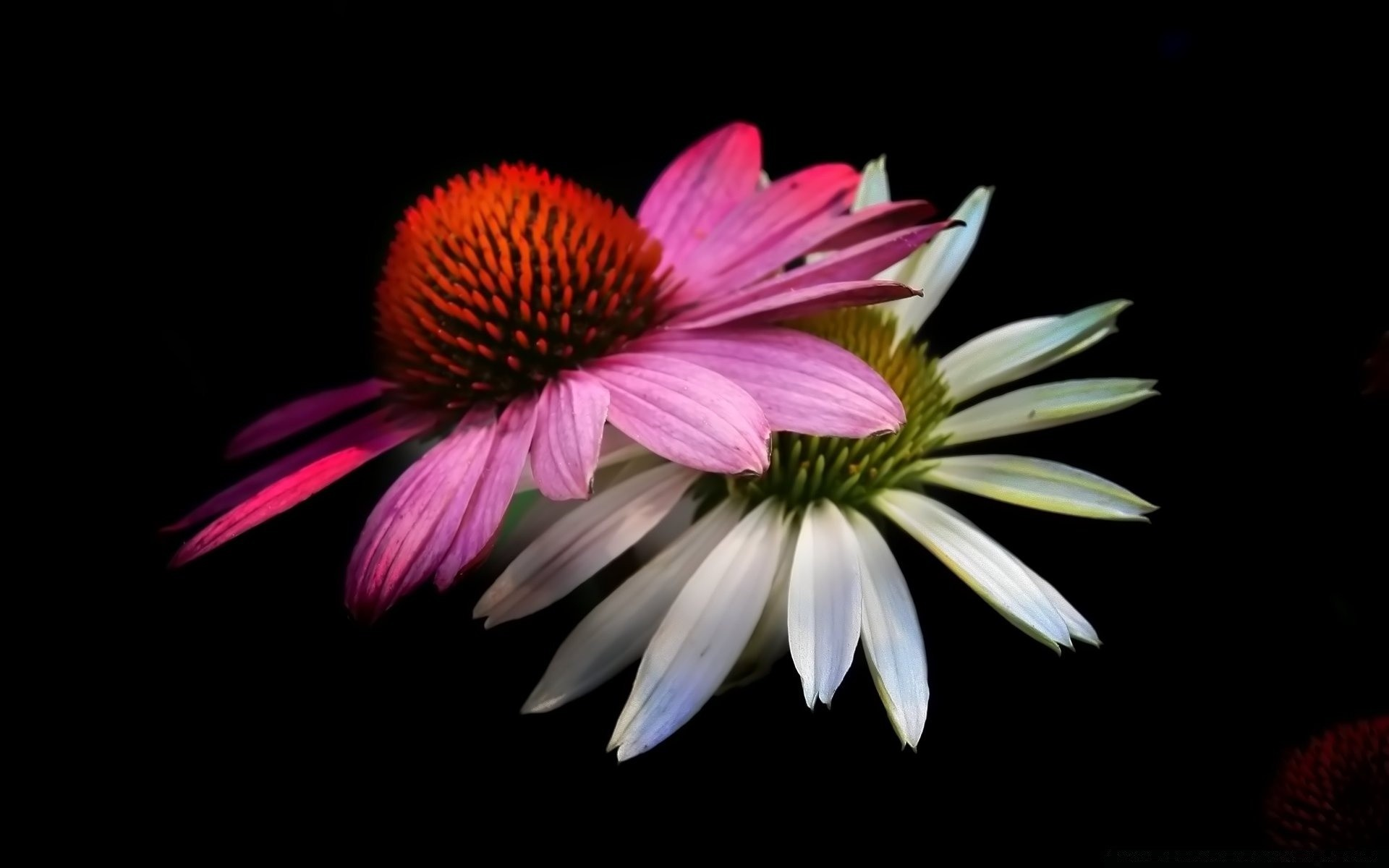 Cone Flowers  Black Background  Android wallpapers for free