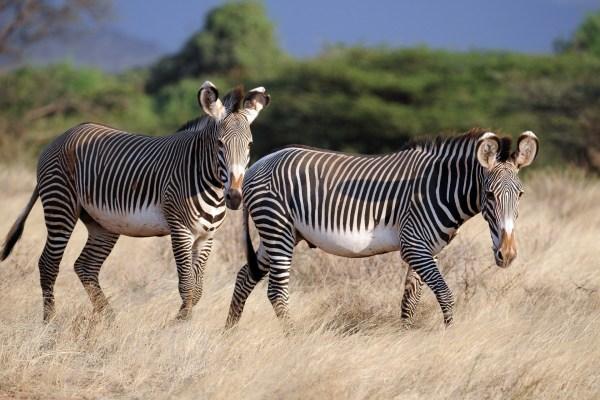 Две зебры в саванне - обои на телефон бесплатно.