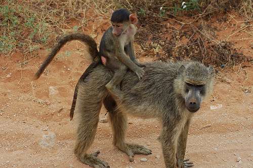 Cute-funny-monkeys-Once-the-economy-tanked-I-was-forced-to-come-out-of-retirement-and-work-as-a-taxi-driver.