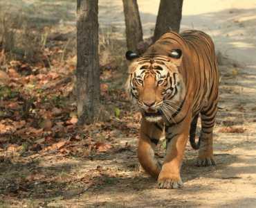 Tiger, Chitwan, Nepal