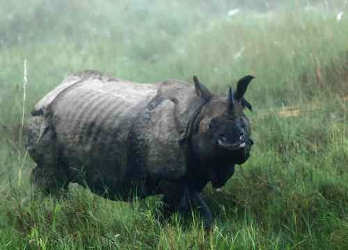 Rhino, Chitwan National Park, Nepal