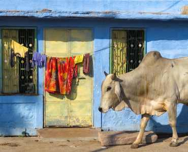 Indian Cow, Jodhpur, India