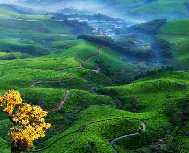 Tea Fields near Munnar, Kerala, India