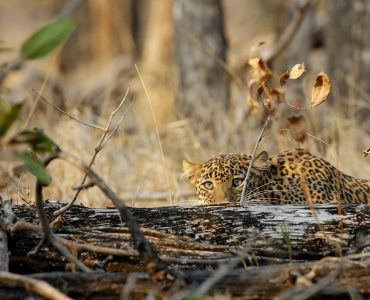 Leopard, Pench National Park, India