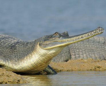 Gharial, Chambal, India