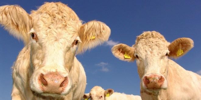 Vacas curiosas se cuelan en un informe meteorológico en vivo
