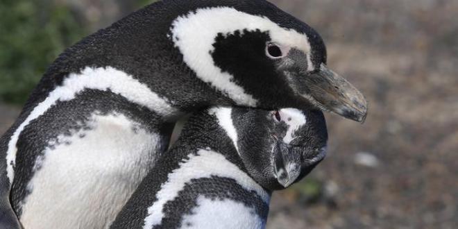 Crece la preocupación por la muerte de un pingüino que se tragó una mascarilla