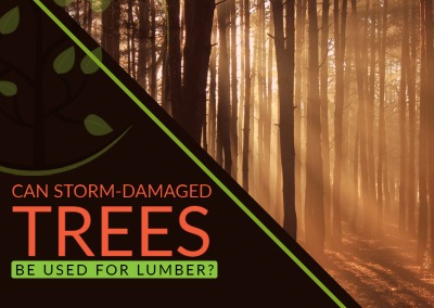 Can Storm Damaged Trees be Used for Lumber?