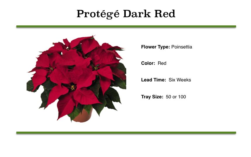 Protégé Dark Red