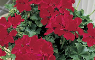 Caliente® Deep Red Image