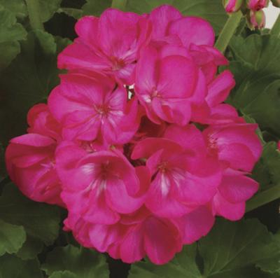 Rocky Mountain™ Deep Rose Image