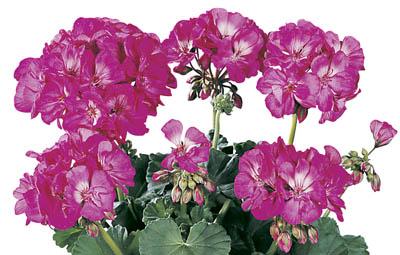 Tango™ Hot Pink Image