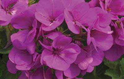 Caliente® Lavender Imp. Image