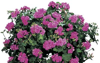Contessa™ Lavender (Amethyst) Image