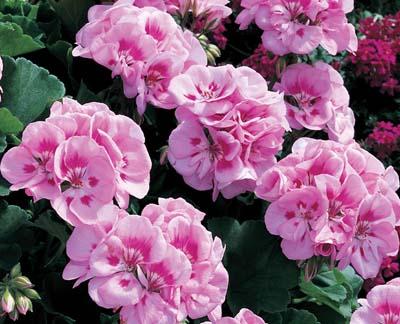 Americana® Light Pink Splash Image