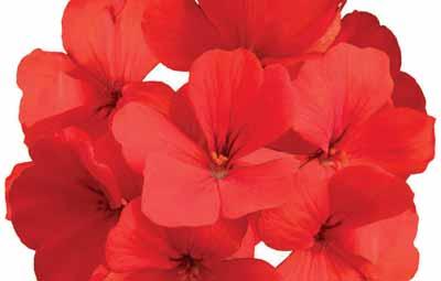 Caliente® Orange Image