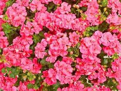 Temprano™ Pink (Flair) Image